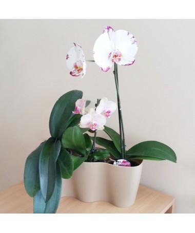 Orchidėjoms 3 plast.vazonas kakavos sp.